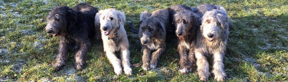 Irische Wolfshunde vom Wipfragrund